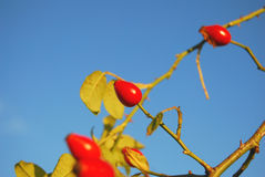 Rose hip. Closeup of rose hip against sky Stock Photography