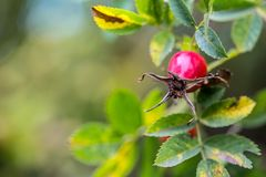 Rose hip. Rose hip in the autumn colours and lights Stock Photo
