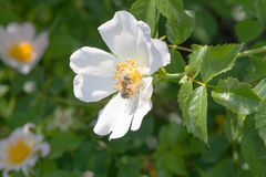 Rose hip. Bee on white flower of rosehip, green background Royalty Free Stock Photo