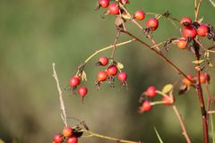 Rose hip berries on a bare branch. With a green background, berry, bush, closeup, colorful, fresh, fruit, leaf, natural, nature, outdoor, red, ripe, season royalty free stock image