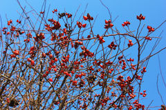 Rose hip berries on a bush in a sunshine Royalty Free Stock Image
