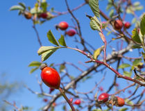 Rose hip berries Stock Photography