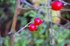Rose hip berries on the twig Royalty Free Stock Photos