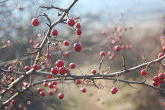 Rose hip berries on the twig Royalty Free Stock Image