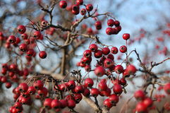 Rose hip berries on the twig Stock Photo