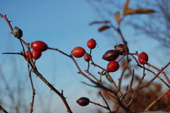 Rose hip berries on the twig Stock Photography