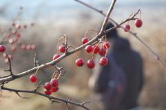 Rose hip berries on the twig Royalty Free Stock Photo