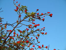 Rose hip berry bush at blue sky Royalty Free Stock Image