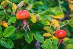 Rose Hip Berry växer på en solig sommardag med gröna sidor fotografering för bildbyråer