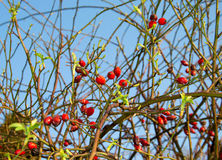 Rose Hip In Bloom Royalty-vrije Stock Afbeelding