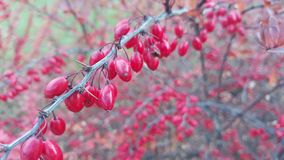 Rose hip on branch Royalty Free Stock Photo