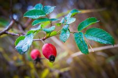 A rose hip branch with red berries and dew drops on the leaves_ royalty free stock photo
