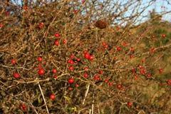 Rose hip bush Royalty Free Stock Photo