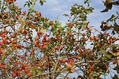 Rose hip bush in autumn Stock Photo