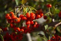 Rose hip bush fruit detail. Closeup rose hip bush fruit detail in a sunny day Royalty Free Stock Photography
