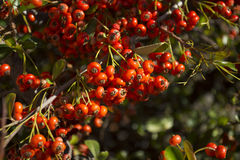 Rose hip bush fruit detail. Closeup rose hip bush fruit detail in a sunny day Royalty Free Stock Images