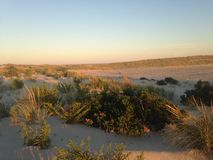Rose Hip Bush na praia de Nickerson, Long Island Fotos de Stock