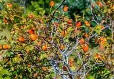 Rose hip. Close up of a rose hip bush royalty free stock image