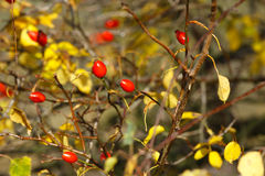 Rose hip Royalty Free Stock Photos