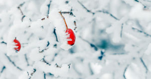 Rose hip covered by frost Stock Image