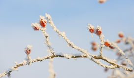 Rose hip covered with snow at winter Royalty Free Stock Image