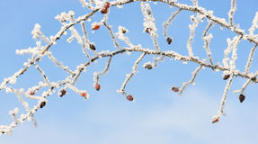 Rose hip covered with snow at winter Stock Photo