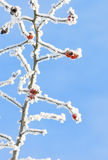 Rose hip covered with snow at winter Royalty Free Stock Photos