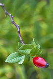 Rose-hip Royalty Free Stock Images