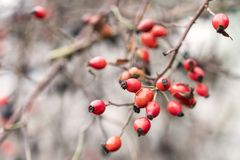 Rose hip, Dog rose red ripe fruits. Fresh raw briar Rosa canina berries in the garden. Natural autumn background. Rose hip, Dog rose red ripe fruits.Fresh raw Stock Images