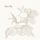 Rose hip. Dog rose. Eglantine. Plant with berries. Rose hip. Dog rose. Brier. Eglantine. Plant with ripe berries autumn harvest. Isolated macro closeup Stock Photo