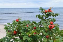 Rose hip or dog-rose royalty free stock image