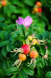 Rose-hip flower. Ripe rose-hip fruit and flower on green bush Royalty Free Stock Image
