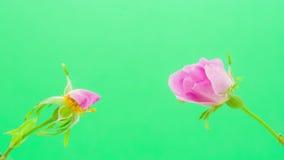 Rose hip flower blossoming stock video