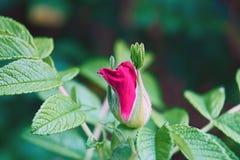 Rose Hip Flower Macro rosada Imágenes de archivo libres de regalías