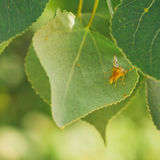 Rose Hip Fly on Leaf Stock Photography
