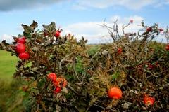 Rose Hip on Foehr Island Stock Photo