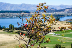 Rose hip in front of lake Royalty Free Stock Photo
