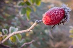 Rose hip with frost Stock Photo