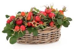Rose Hip Fruit royaltyfri bild