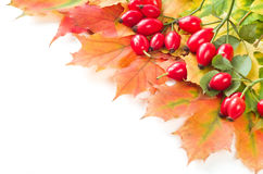Rose hip fruit with autumn leafs, Stock Photo