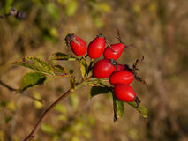 Rose hip. The fruit of autumn nature Royalty Free Stock Images