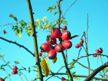 Rose Hip, Fruit, Berry, Plant royalty free stock image