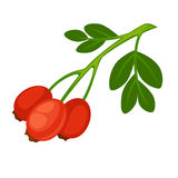 Rose Hip Fruit of Rose Plant Isolated on White. Background. Rose haw or rose hep, typically red-to-orange color. Rosehips on branch with leaves realistic vector Royalty Free Stock Image