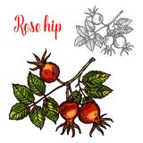 Rose hip vector sketch fruit berry icon. Rose hip fruit sketch icon. Vector botanical design of rose hep or haw berry fruit of dog rose plant with leaf for juice stock illustration