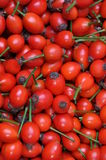 Rose hip fruits Stock Photography