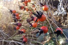 Rose hip in the garden royalty free stock image