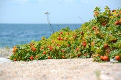 Rose Hip Growing sulla spiaggia Fotografia Stock Libera da Diritti