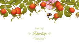 Rose hip horizontal banner. Vector rose hip horizontal banner on white background. Design for tea, homeopathy, herbal cosmetics,health care products. With place Royalty Free Stock Image