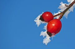 Rose hip with ice crystals Stock Photography