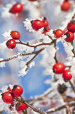 Rose hip with ice crystals Stock Photos